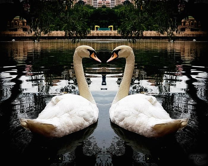 loveswans